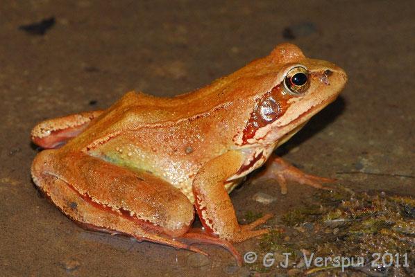 Grass Frog - Rana temporaria