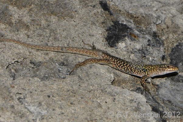 Italian Wall Lizard - Podarcis siculus    In Situ