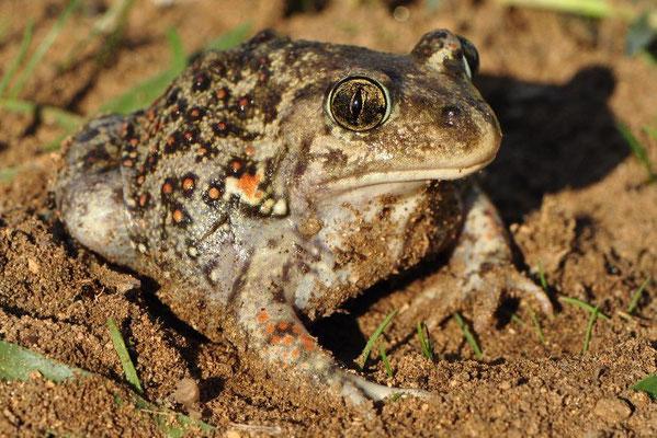 Eastern Spadefoot Toad - Pelobates syriacus (Male)