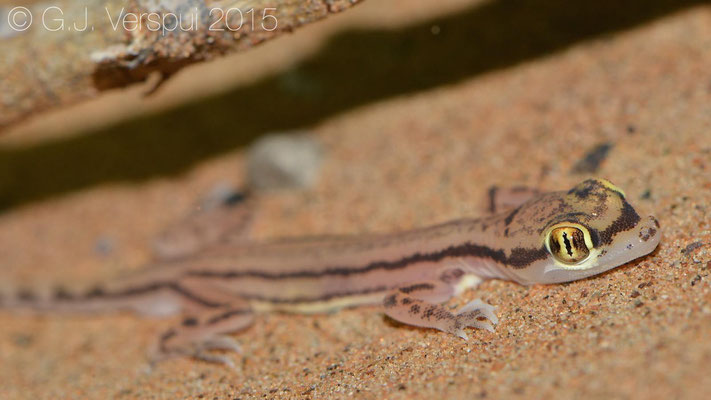 Stenodactylus sharqiyahensis, In Situ