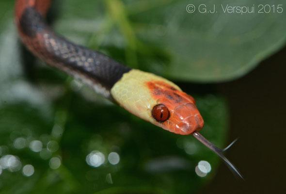 Siphlophis compressus