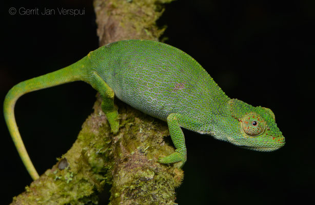 Female Tolley's Forest Chameleon - Kinyongia tolleyae