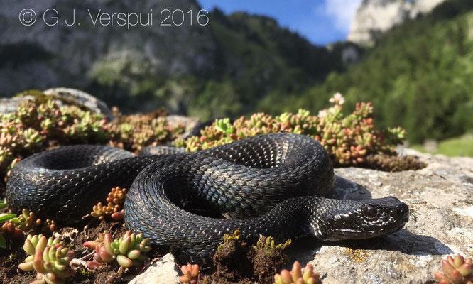 Melanistic Swiss Asp viper - Vipera aspis 'atra'