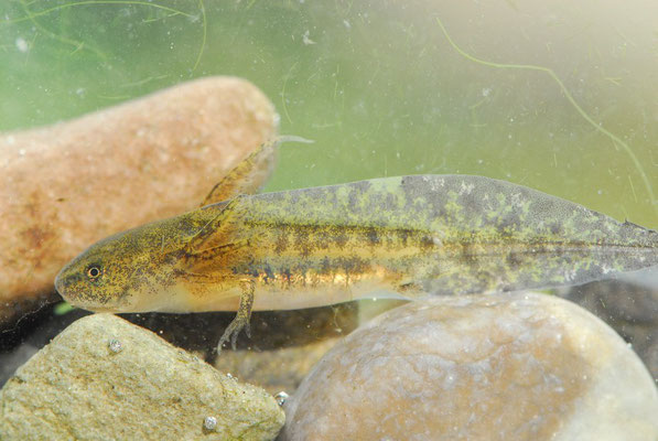 Sharp-ribbed Newt - Pleurodeles waltl  (larvae)
