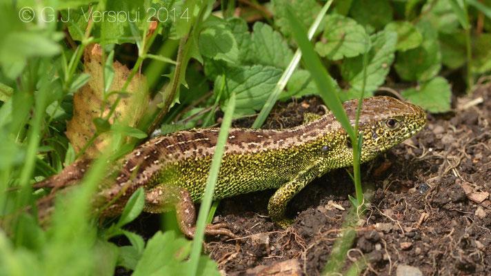 Sand Lizard - Lacerta agilis agilis
