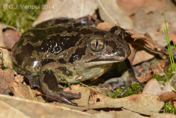 4th Common Spadefoot Toad - Pelobates fuscus