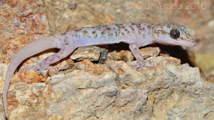 Peninsular Leaf-toed Gecko (Phyllodactylus nocticolus)