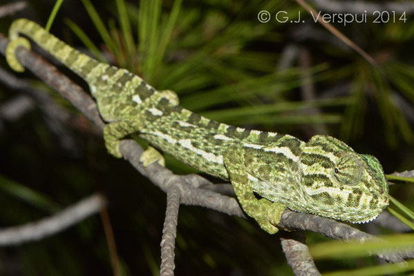 Mediterranean Chameleon - Chamaeleo chamaeleon, same one as previous photo