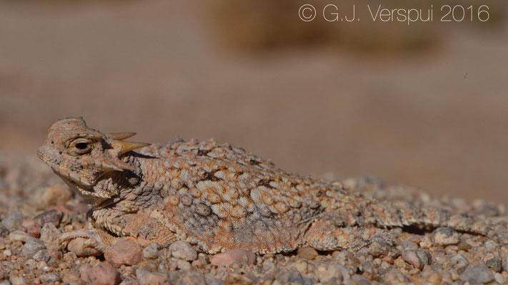 Desert Horned Lizard (Phrynosoma platyrhinos) Not In Situ