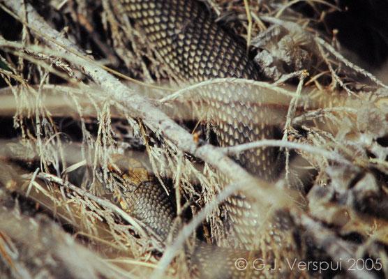 Caspian Whip Snake - Dolichophis caspius   In Situ