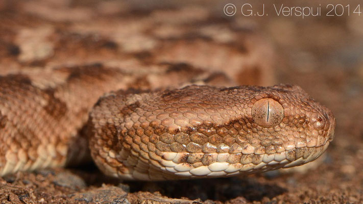 Palestine Saw-scaled Viper - Echis coloratus