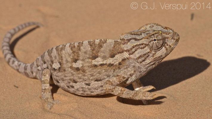 Mediterranean Chameleon - Chamaeleo chamaeleon musae, as found.