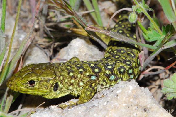 Ocellated Lizard - Timon lepidus lepidus (juvenile)