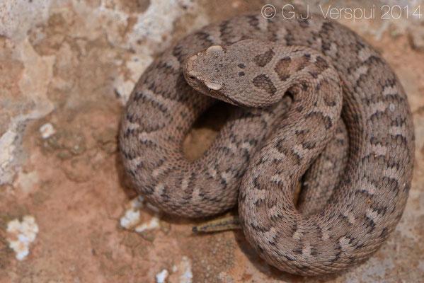 Lebanon Viper - Montivipera bornmuelleri