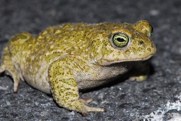 Natterjack Toad - Bufo calamita    In Situ