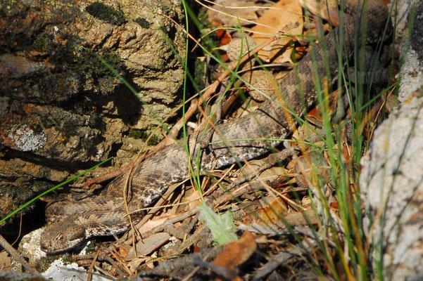 Lataste's Viper - Vipera latastei,   In Situ