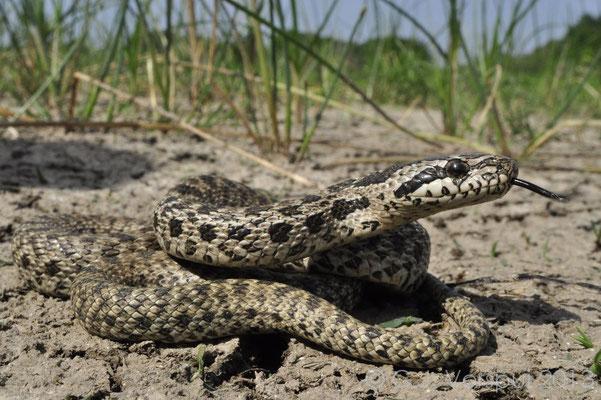 Blotched Snake - Elaphe sauromates