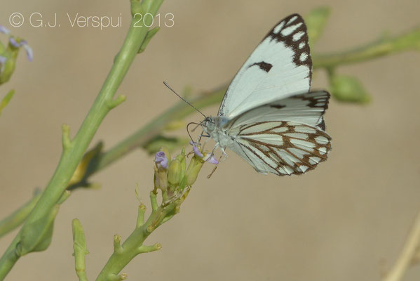 Desert White - Pontia glouconome