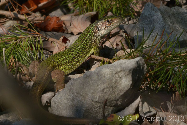 Western Green Lizard - Lacerta bilineata