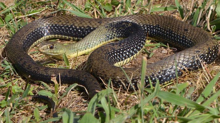 Western Montpellier Snake - Malpolon monspessulanus