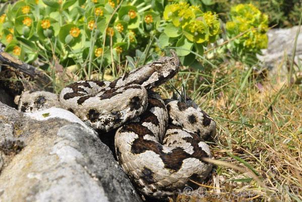 I made this photo, Nose-horned Viper - Vipera ammodytes