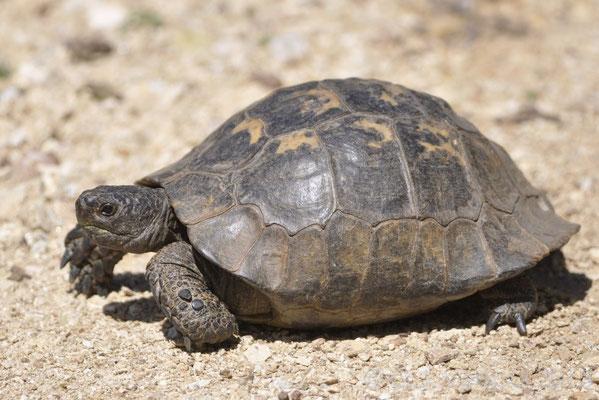 Spur-thighed Tortoise - Testudo graeca   In Situ
