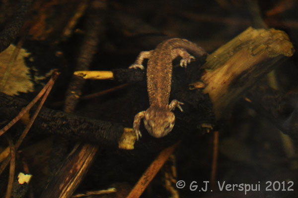 Corsican Brook Newt - Euproctus montanus    In Situ