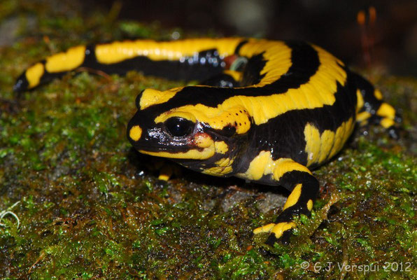 Fire Salamander - Salamandra salamandra, intergrade bejarae/fastuosa