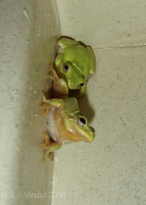 Squirrel Treefrogs  - Hyla squirella