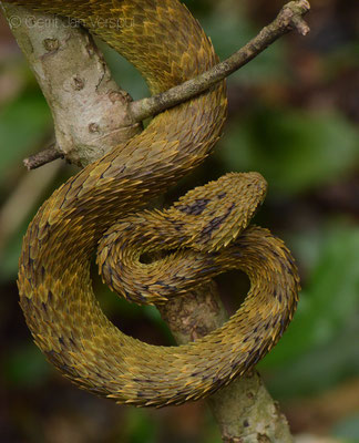 Rough-scaled Bush Viper - Atheris hispida