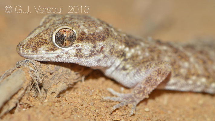 Baiuch Rock Gecko - Bunopus tuberculatus