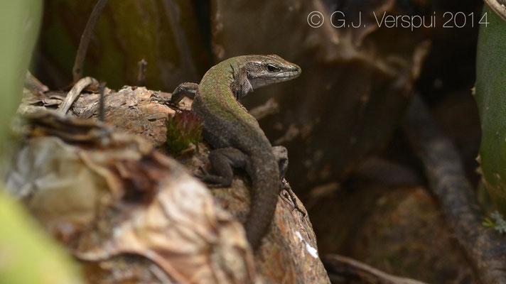 Aeolian Wall Lizard - Podarcis raffonei