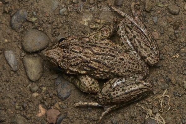 Male Pelodytes caucasicus