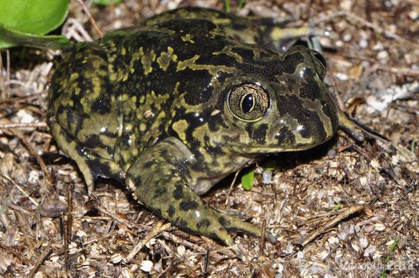 Western Spadefoot Toad - Pelobates cultripes