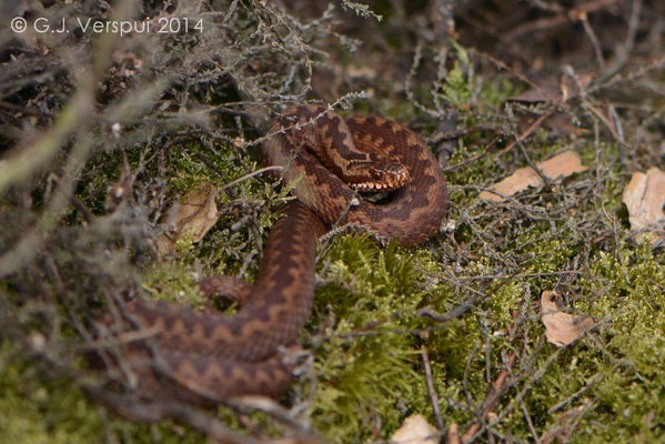 Female Adder - Vipera berus, In Situ