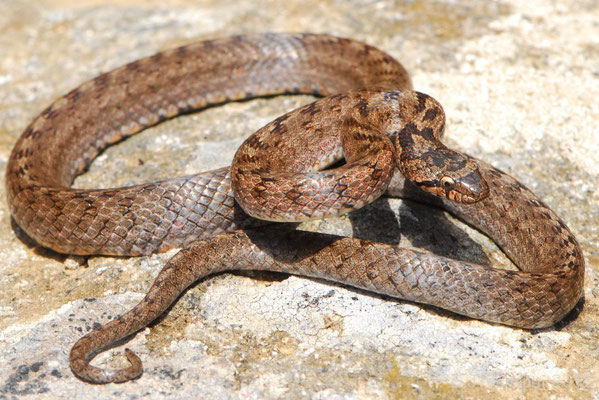 Southern Smooth Snake - Coronella girondica