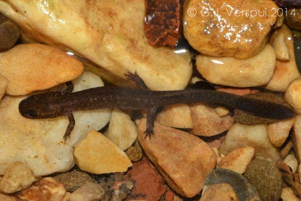 Golden-striped Salamander - Chioglossa lusitanica larvae