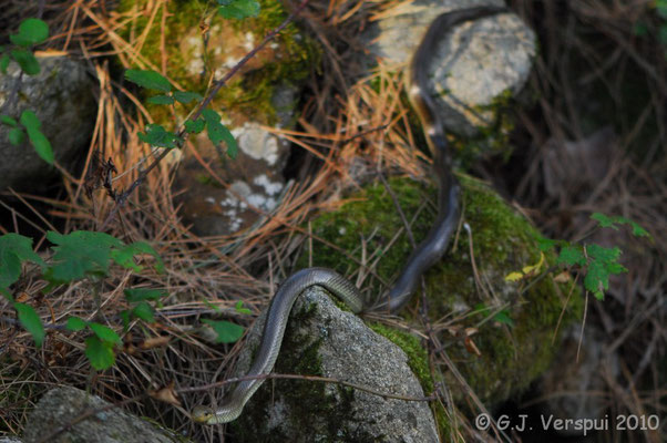 Aesculapian Snake - Zamenis longissimus    In Situ
