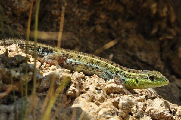 Snake-eyed Lacertid - Ophisops elegans (male)
