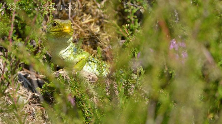 Ocellated Lizard - Timon lepidus ibericus