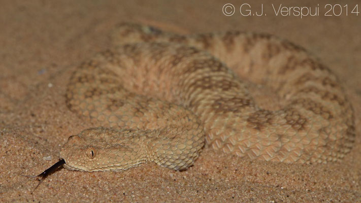 The first Sahara Sand Viper - Cerastes vipera