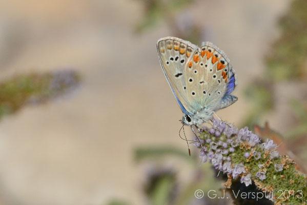 Common Blue - Polyommatus icarus   (NL: Icarusblauwtje)