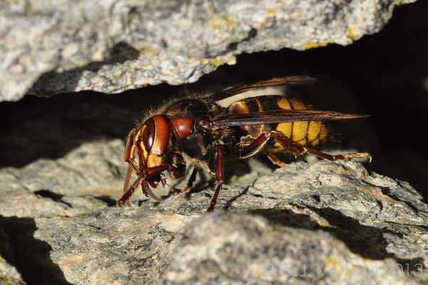 European hornet - Vespa crabro (around 4cm)