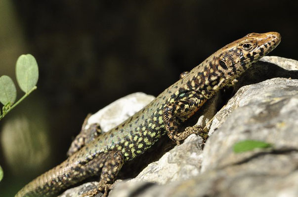 Greek Rock Lizard - Hellenolacerta graeca   In Situ