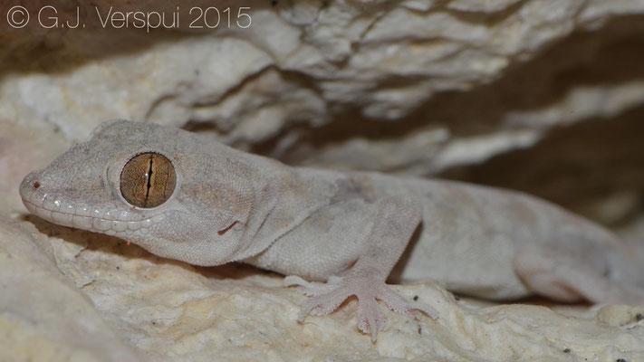Hemidactylus lemurinus, In Situ