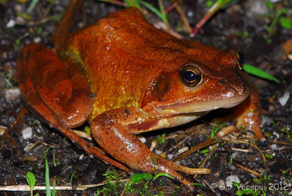 Very big Grass Frog - Rana temporaria parvipalmata