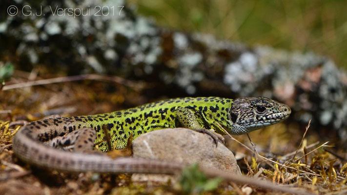 Female Schreiber's Green Lizard - Lacerta schreiberi
