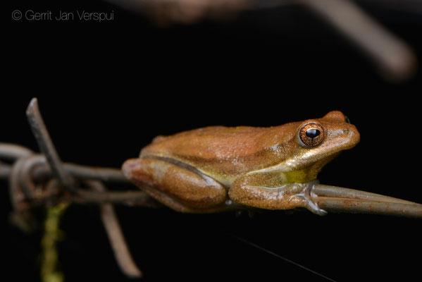 Male Balfour's Reed Frog - Hyperolius balfouri