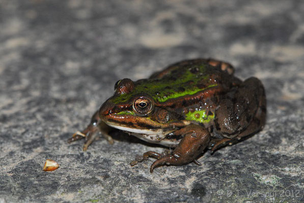 Green Frog species, most likely  Pool Frog - Pelophylax lessonae