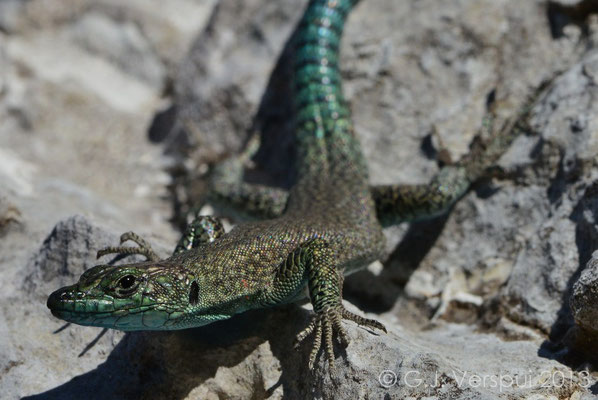 A little closer, Sharp-snouted Rock Lizard - Dalmatolacerta oxycephala